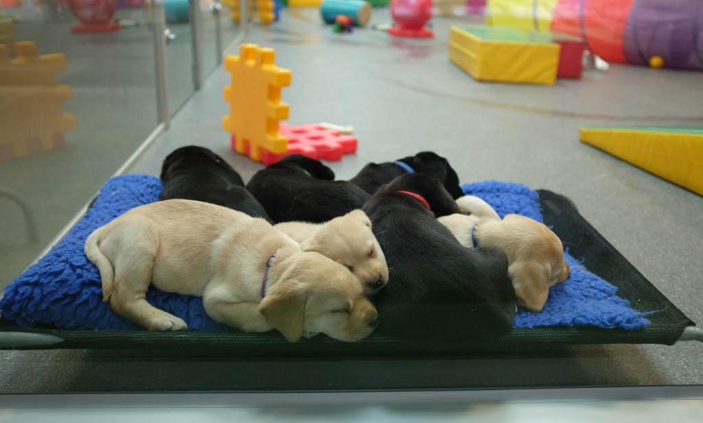 Guide Dog Pups