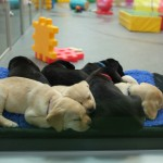 Open Day at Camp SEDA - Guide Dogs in Training