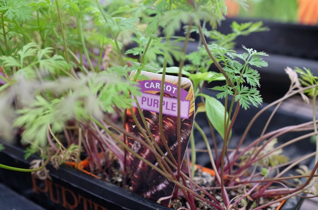 Van Loons Purple Carrots