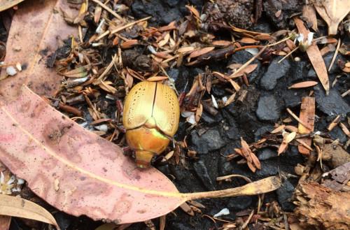 Christmas-Beetle