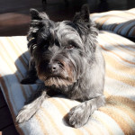 Our famous Cairn Terrier!