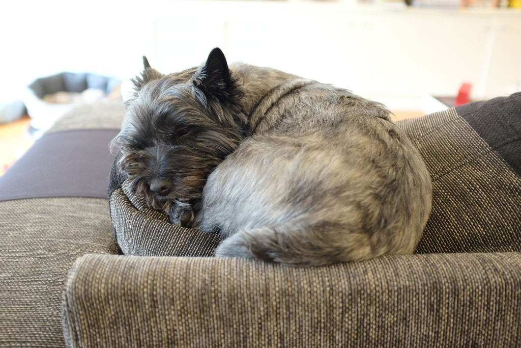 Cairn-Terrier-curled-up