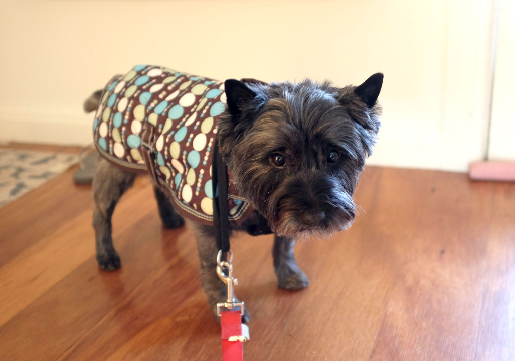Cairn-Terrier-wearing-coat