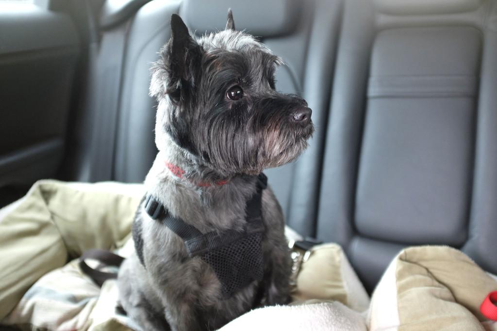 Cairn-terrier-1