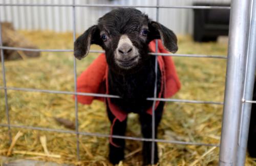 Kid-Goat