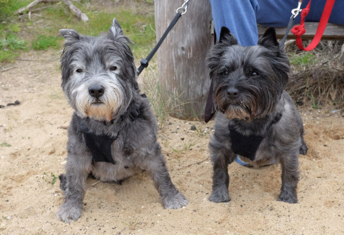 Cairn-terriers