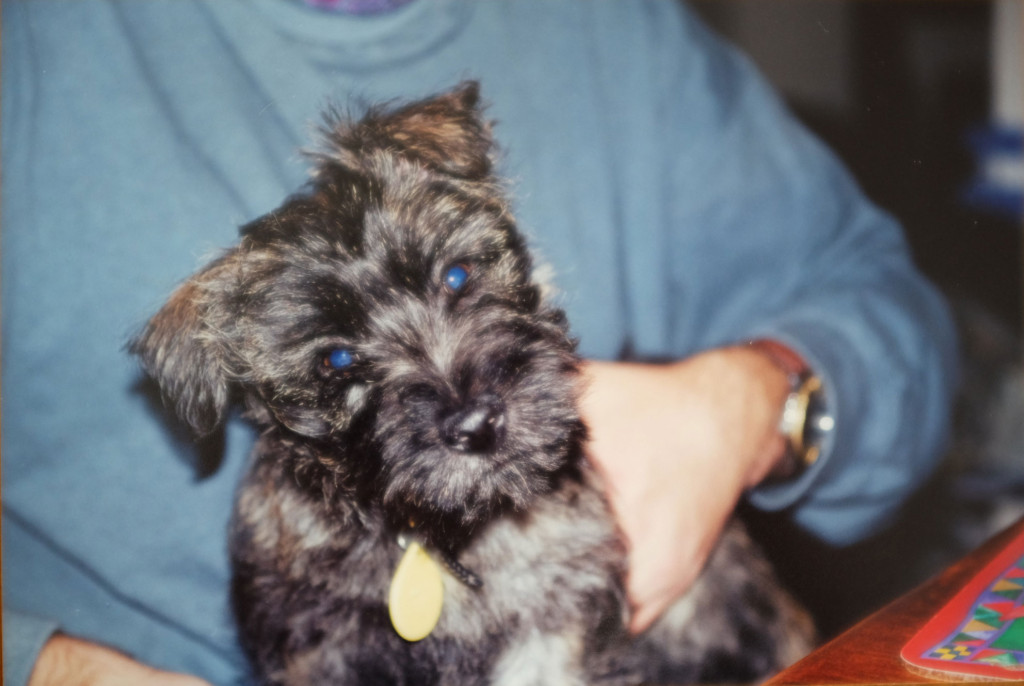 Bill-cairn-terrier-pup-2