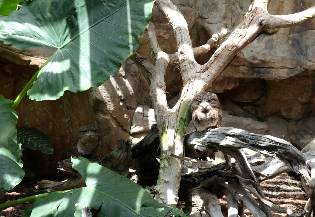 Cairns-Zoom-Tawny-frogmouth