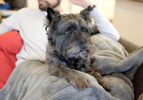 Cairn-Terrier-Watching