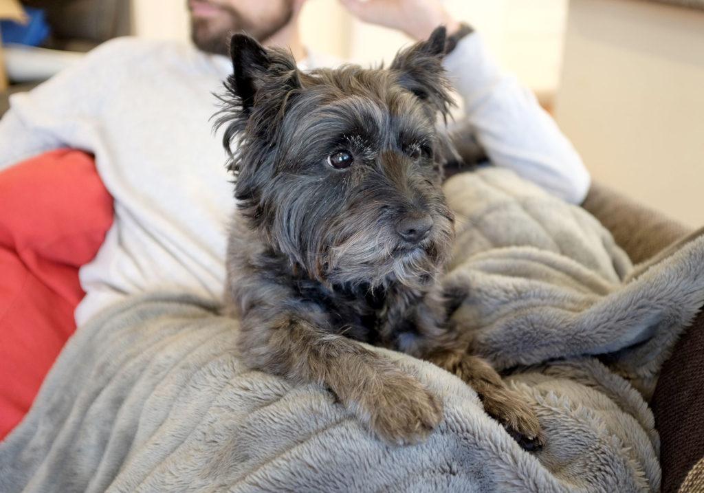 Cairn-Terrier-Watching